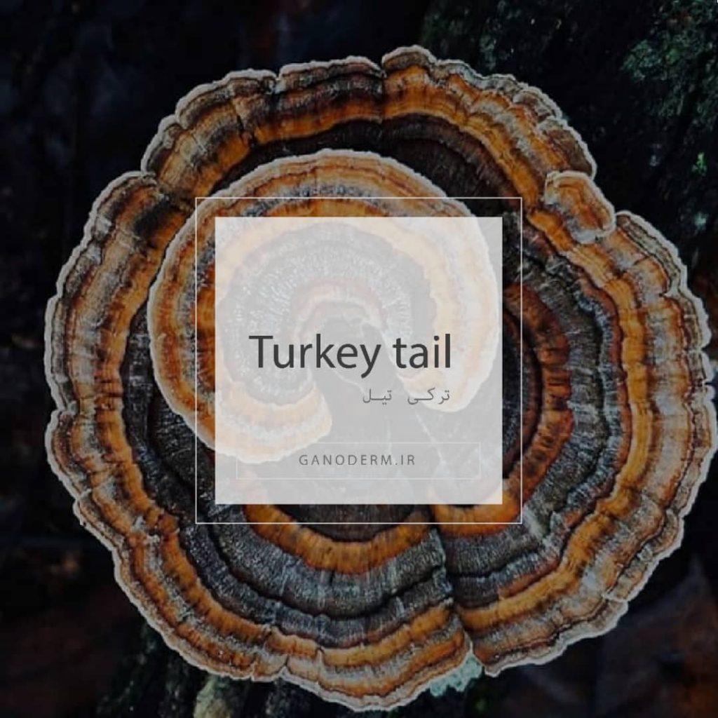قارچ ترکی تیل