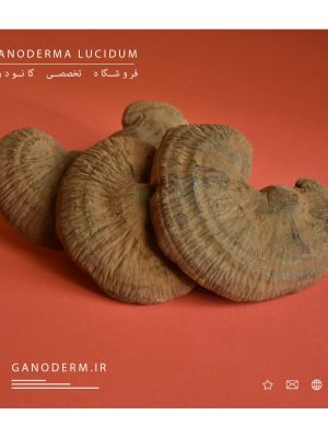گانودرما پرورشی